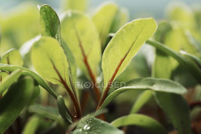 Закри мікро листя салату рослин ростуть в рослинна садові. — стокове фото