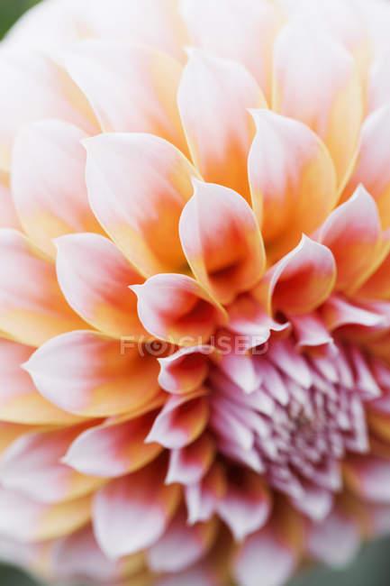 Закри квітка жоржин рожевий. — стокове фото