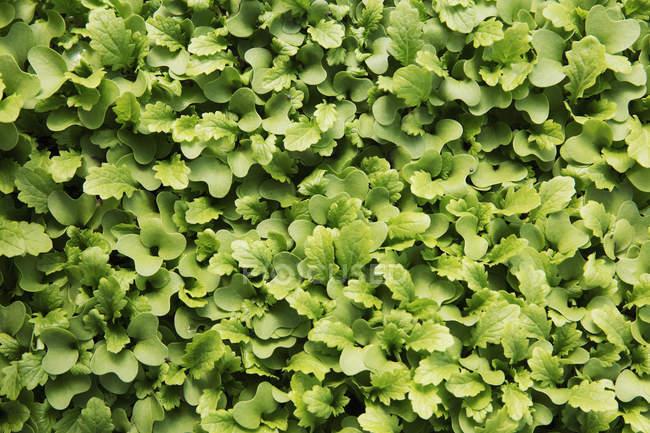 Небольшой салат листья и микро листья, растущих на ферме — стоковое фото