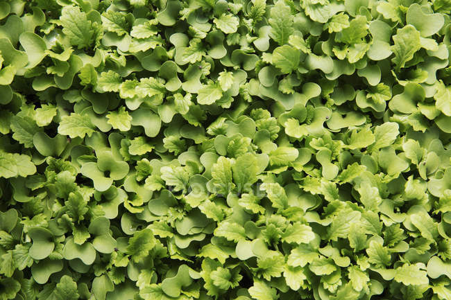 Small salad leaves and micro leaves growing on farm. - foto de stock