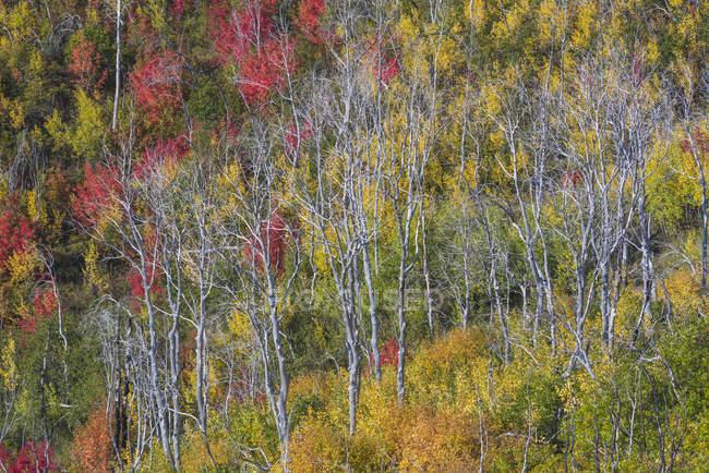 Wald von Ahorn und Aspen in herbstlichen Farben des Laubes. — Stockfoto
