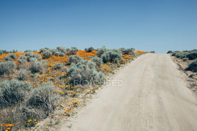 Naturalized crops of vivid orange California poppy flowers in Antelope Valley California poppy reserve. — Stock Photo