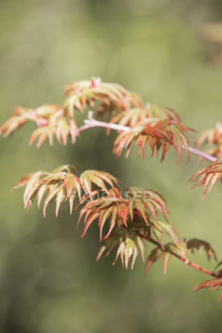 Acer tree branch with vibrant red and yellow leaves. — Stock Photo