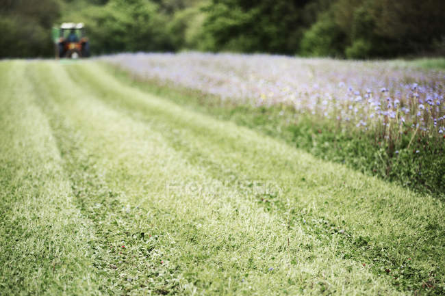 Green field with crops of blue cornflowers and wild meadow flowers with tractor working in distance. — Stock Photo