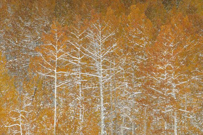 Снег на осенние листья и ветви осина деревьев в лесу — стоковое фото
