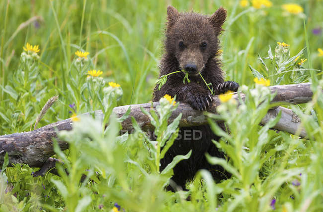 Бурый медвежонок, опираясь на журнал в цветущий луг. — стоковое фото