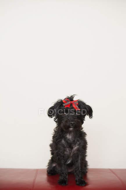 Piccolo cane nero con fiocco rosso davanti al muro bianco — Foto stock