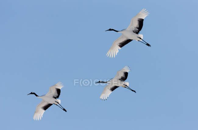 Guindastes japoneses voando no céu azul . — Fotografia de Stock