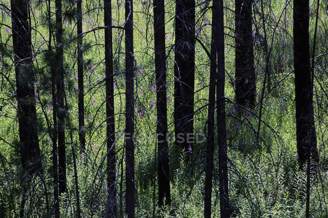 Forêt avec la croissance après les incendies de forêt et de pousses vertes — Photo de stock