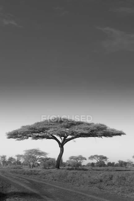 Árvore de acácia crescendo por estrada no Parque Nacional Serengeti, na Tanzânia . — Fotografia de Stock