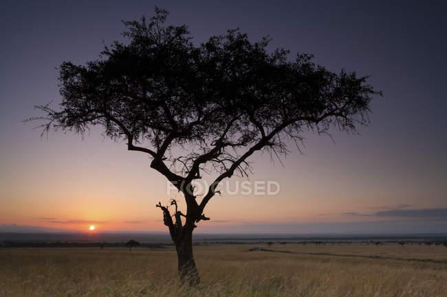 Acacia dans un paysage pittoresque sur le coucher du soleil dans la prairie du Kenya — Photo de stock