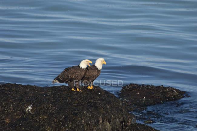Два лисі орли, Підносячись на скелях вода. — стокове фото