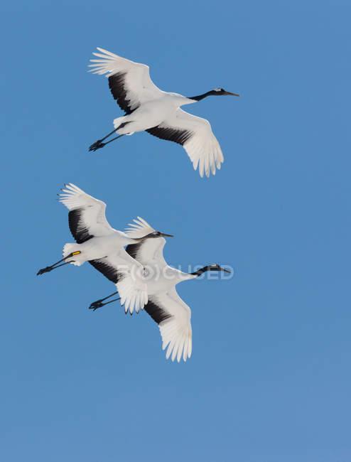 Японські журавлі, пролетівши в Синє небо. — стокове фото