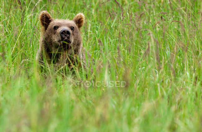 Filhote de urso-pardo se escondendo nos prados verdes. — Fotografia de Stock
