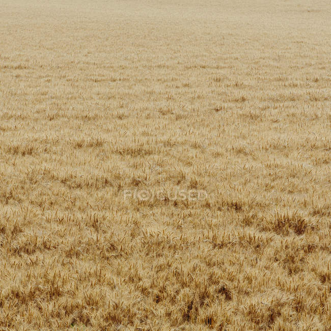 Field with growing and ripening crops of wheat. — Stock Photo