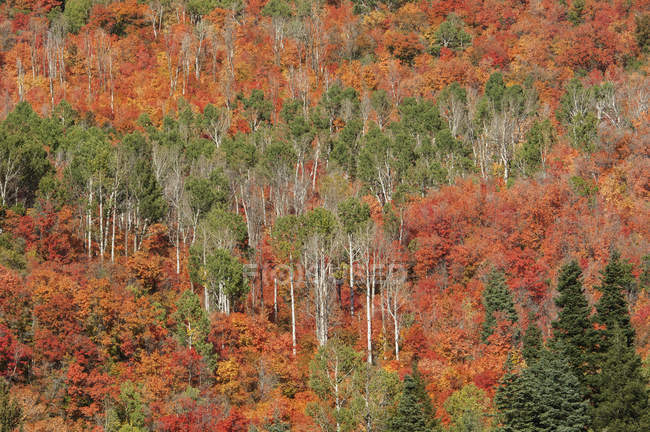 Maple and aspen trees in autumnal woodland. — Stock Photo