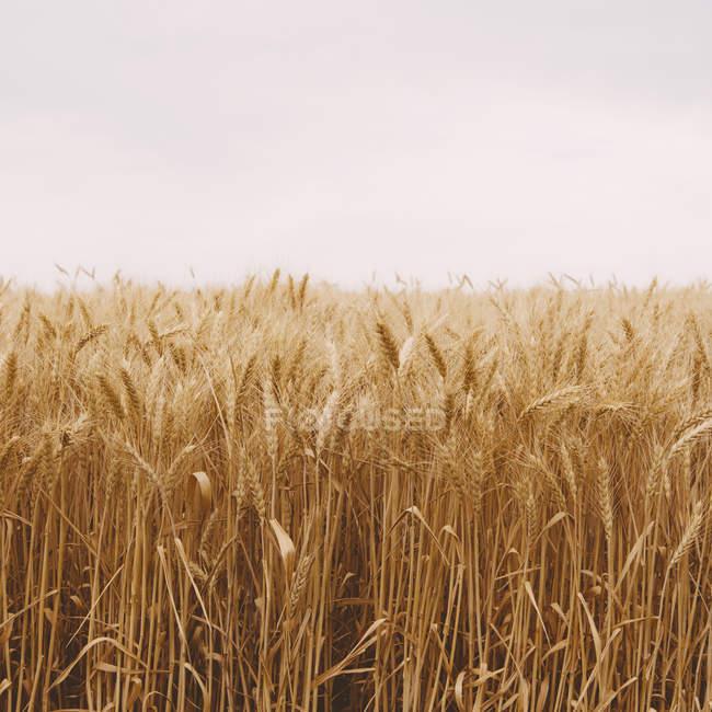 Bereich der Reifen Weizen wächst in der Nähe von Pullman im Whitman County, Usa. — Stockfoto