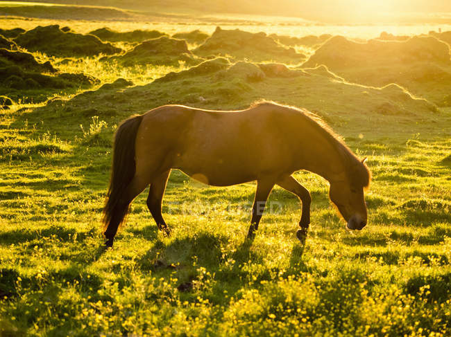 Wild horse grazing on green meadow in sunlight in summer. — Stock Photo