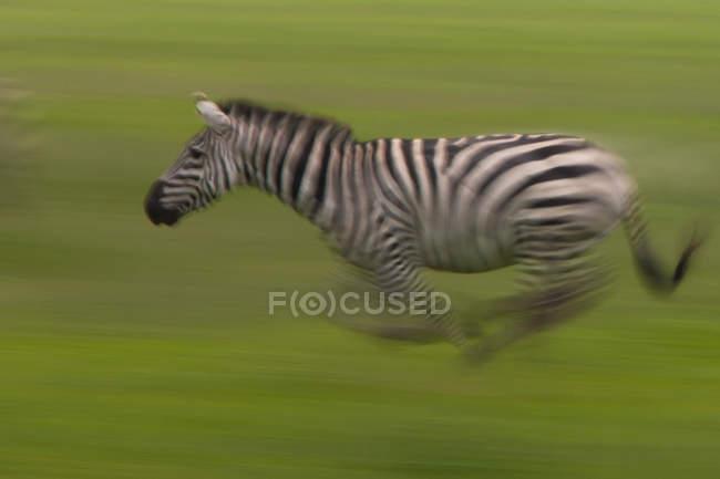 Laufenden Ebenen Zebra auf grünem Hintergrund mit Motion blur. — Stockfoto