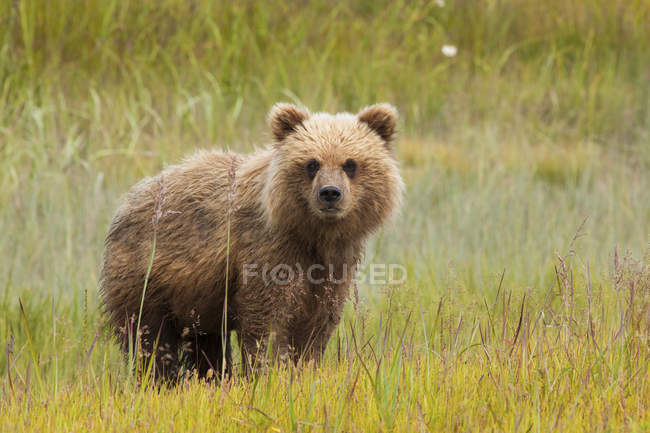 Brown bear cub in meadow of natural grassland. — Stock Photo