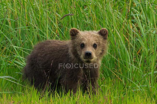 Filhote de urso pardo em pé ciente na grama verde. — Fotografia de Stock