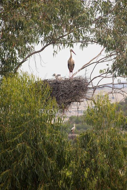 Weißstorch Nest mit Küken in der Äste eines Baumes gehockt. — Stockfoto