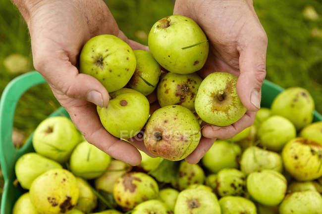 Самец руки сортировки яблоки в большой зеленый ведро. — стоковое фото