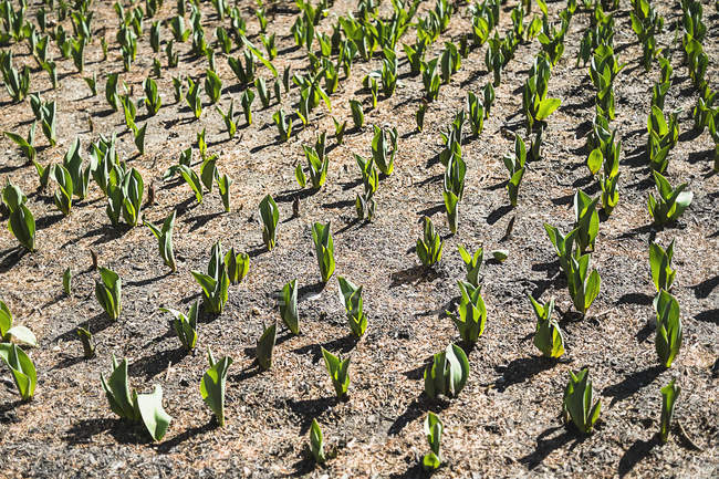 Small green plants emerging from soil in field, full frame. — Stock Photo