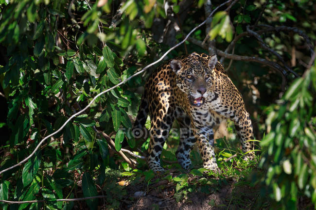 Jaguar sneaking in forest of Brazil — Stock Photo