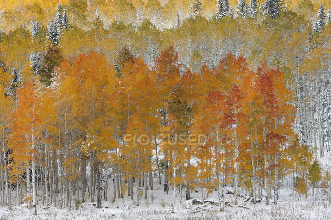 Autumnal maple and aspen trees in wintry woodland. — Stock Photo