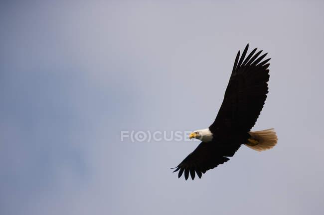 Pájaro del águila calva volando en cielo azul. - foto de stock
