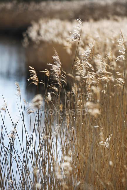 Fusti di canna e teste di semi piumati che crescono in acque poco profonde — Foto stock