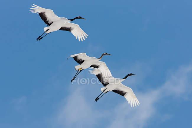Grues japonaises volant dans le ciel bleu . — Photo de stock