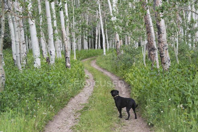 Black labrador dog standing on deserted path through aspen woods. — Stock Photo