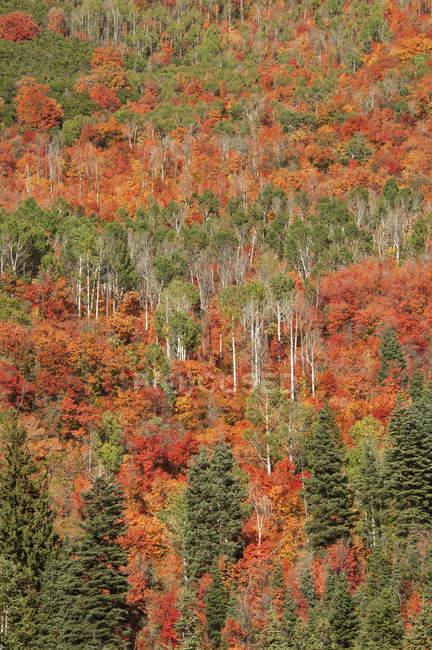 Ahorn und Espe Bäume im herbstlichen Wald. — Stockfoto