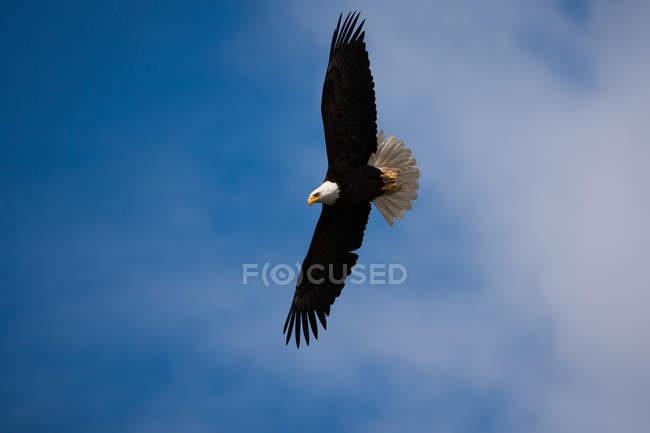 Aquila calva volante con diffondere le ali in cielo blu — Foto stock