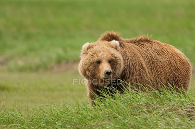 Brown bear standing in grass of Katmai National Park, Alaska, USA — Stock Photo