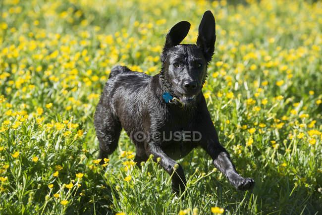 Cão labrador preto, correndo através de flores silvestres com orelhas balançando. — Fotografia de Stock