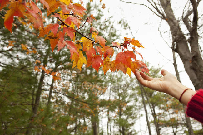 Person reaching to autumn foliage on tree branch. — Stock Photo