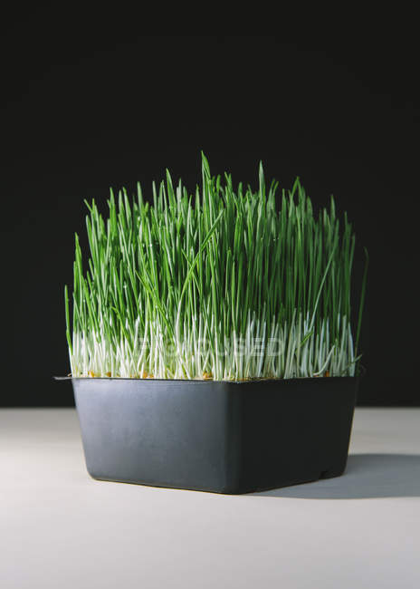 Shallow tray of organic wheatgrass on table. — Stock Photo