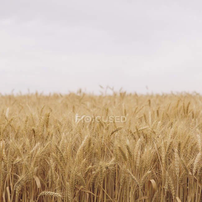 Field of ripening wheat growing near Pullman in Whitman County, Washington, USA. — Stock Photo