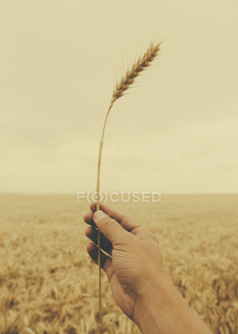 Male hand holding stalk of wheat against crop field. — Stock Photo