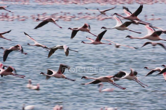 Kleine Flamingos fliegen über Wasser des Narasha-Sees, Kenia. — Stockfoto