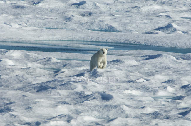 Polar bear walking across uneven surface of ice field. — Stock Photo