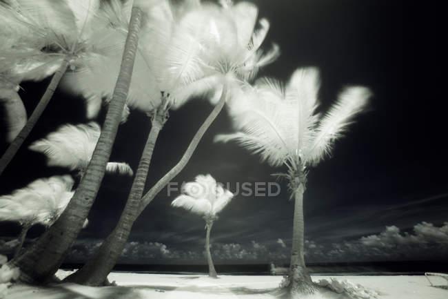 Imagem infravermelha de palmeiras altas em Porto Rico . — Fotografia de Stock
