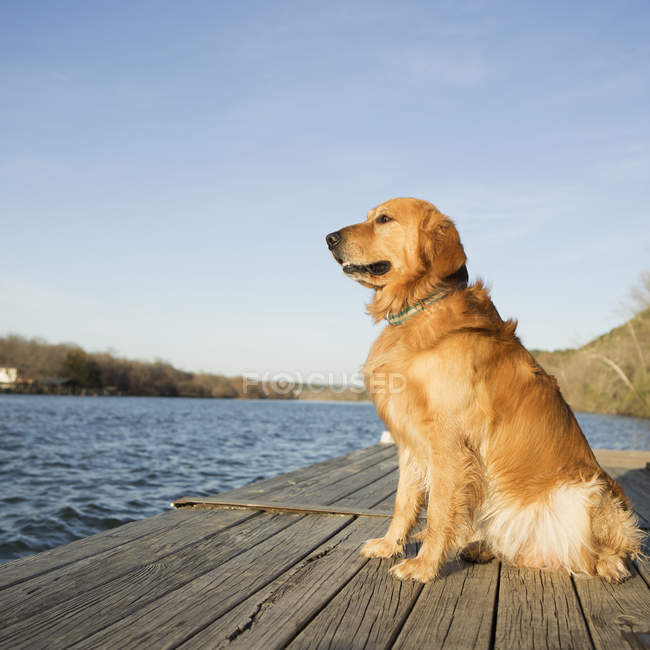 Chien Golden retriever assis sur la jetée de l'eau. — Photo de stock