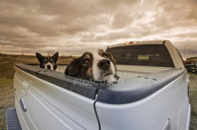 Две собаки подглядывают сзади пикапа . — стоковое фото