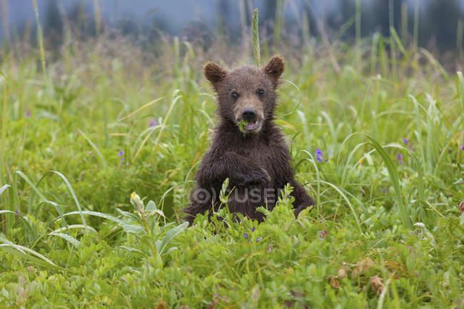 Filhote de urso-pardo em prado florido comer grama. — Fotografia de Stock