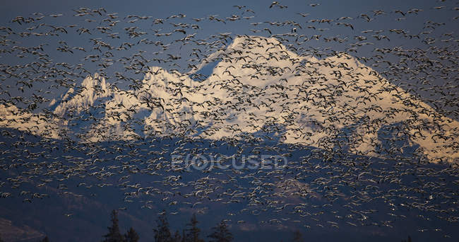 Flock of snow geese in flight with Mount Baker, Washington, USA — Stock Photo