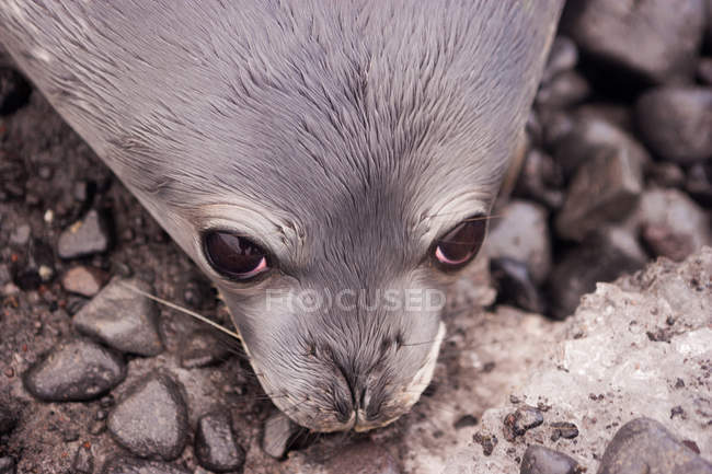 Weddell seal pup resting on wet rocky beach, close-up — Stock Photo